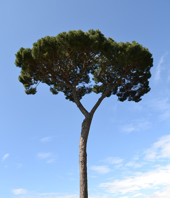 Pine, Tree, Mediterranean, Blue Sky