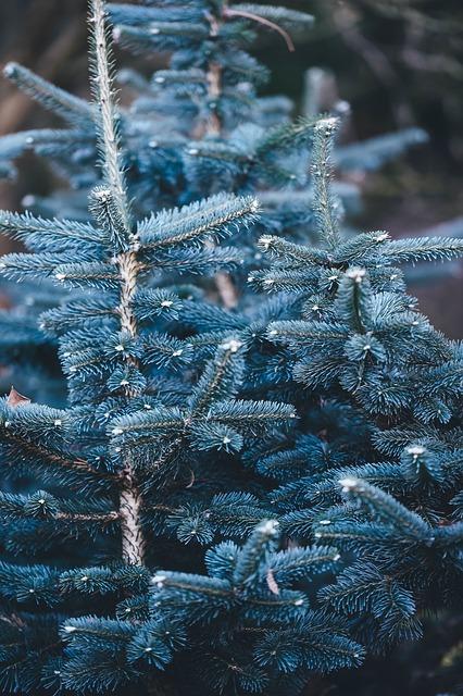 Blue Spruce, Spruce Tree, Tree, Spruce, Blue, Nature