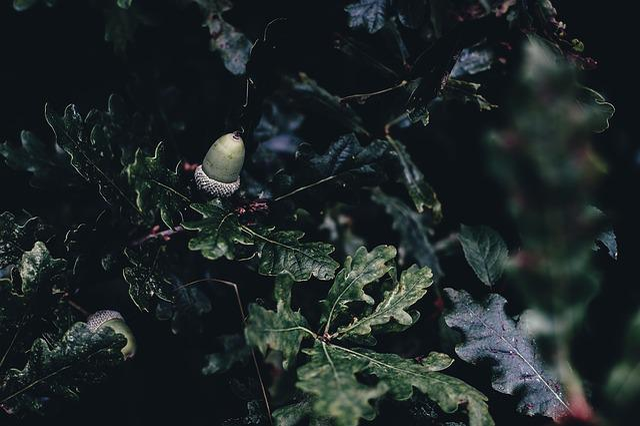 Acorn, Branch, Leaves, Tree