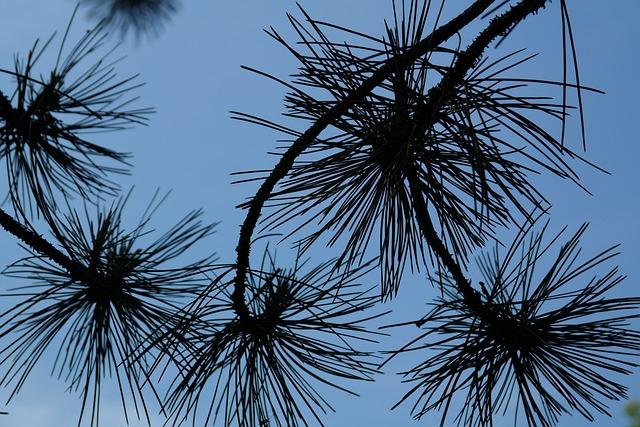 Branch, Pine Needles, Needles, Black Pine, Tree