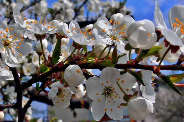 Flower, Cherry, Tree, Branch, Nature, Blooming