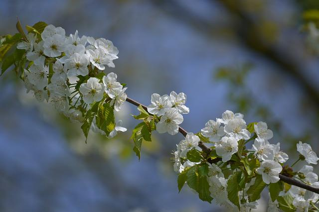 Flower, Tree, Branch, Plant, Cherry Wood, Nature
