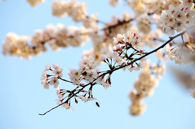 Cherry Wood, Branch, Tree, Flower