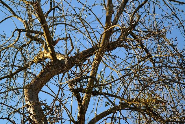 Tree, Branches, Apple Tree, Mistletoe