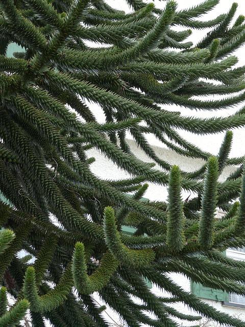 Araucana, Fir, Tree, Branch, Branches, Araucaria