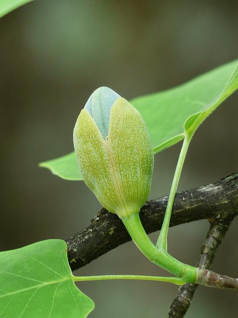 Tulip Tree, Tree, Bud, Go Up, Growth