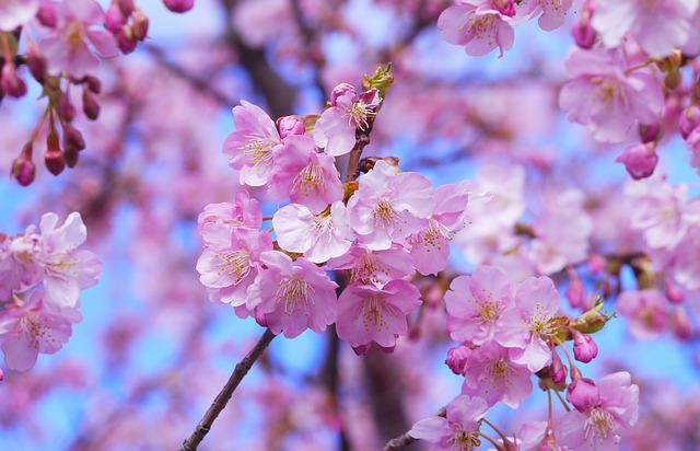 Cherry Blossoms, Tree, Sakura, Flowers