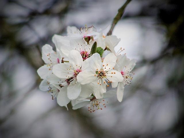 Cherry, Cherry Blossom, Flowering, Tree, Flower, Nature