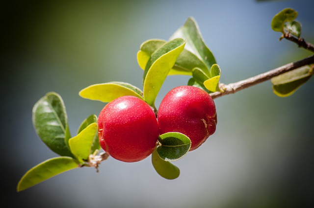 Cherry, Cherries, Tree, Fruit, Branch, Nature, Outside