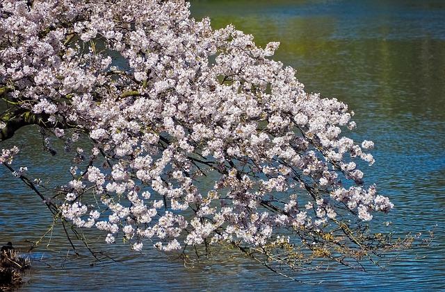 Flower, Season, Cherry Wood, Nature, Tree, Flowers