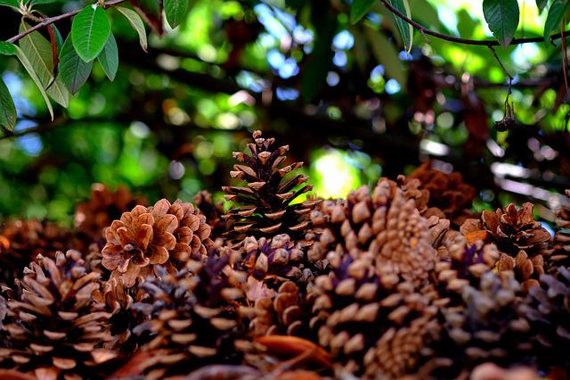 Pine Cones, Many, Pine, Tree, Quantitative, Tap, Close