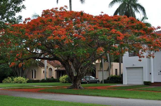 Flamboyant, Flowers, Red, Tree, Delonix Regia