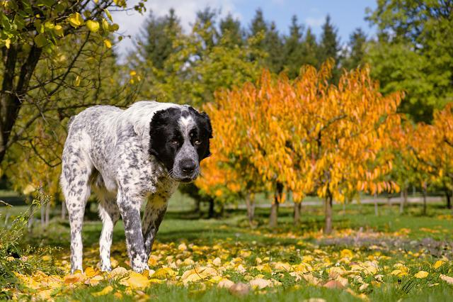 Dog, Autumn, Tree, Colors, Středoasiat, Garden