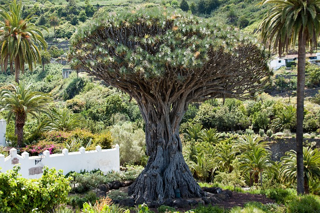 Dragon Tree, Tree, Canary Island Dragon Tree