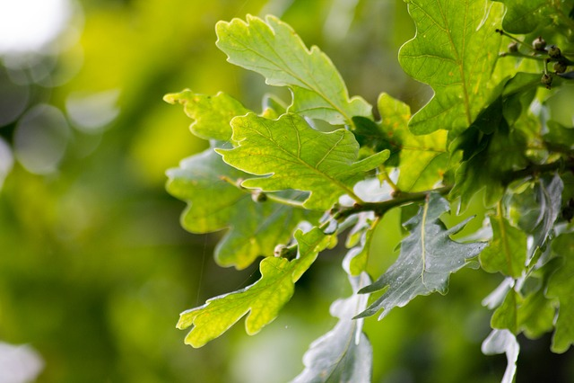 English Oak, Leaves, Tree