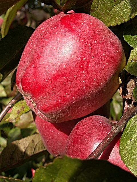 Apple Tree, Tree, Branch, Foliage, Fetus