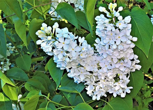 Plant, Lilac, Tree, Bush, Flowering Twig