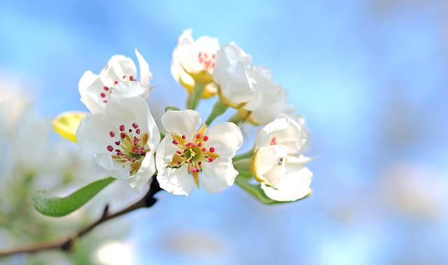 Apple Blossom, Flowers, Tree, Apple Tree, White Flowers