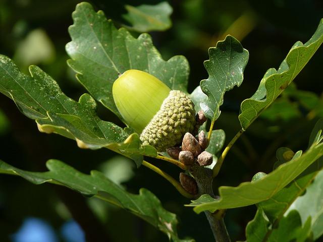 Oak, Leaf, Tree, Fruit, Oak Fruit, German Oak, Autumn