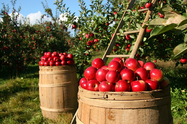 Orchard, Apple, Apples, Fruit, Green, Nature, Tree
