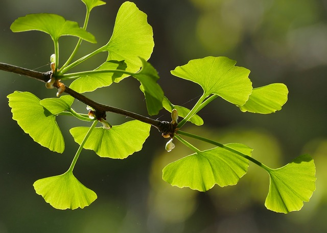 Flora, Nature, Leaf, Branch, Growth, Tree, Ginkgo Tree