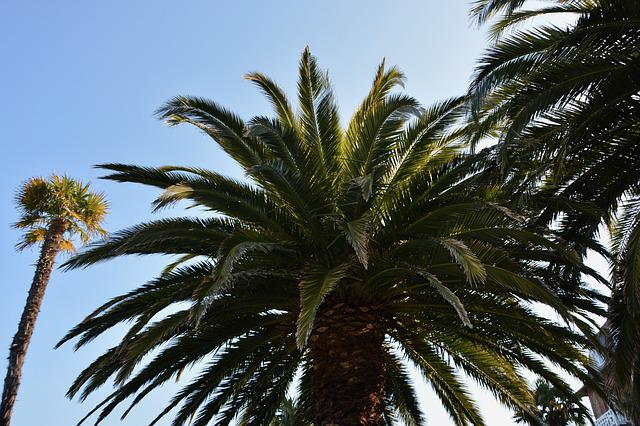 Palm, Palm Tree, Tree, Nature, Green Foliage