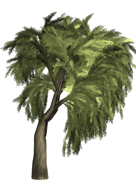 Willow, Tree, Isolated, Transparent Background, Green