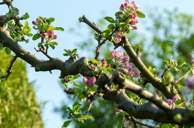 Tree, Nature, Growth, Bud, Apple Blossom