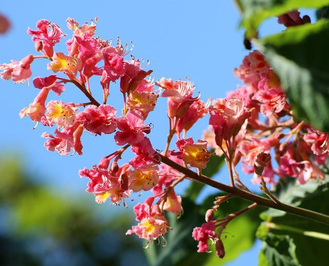 Horse Chestnut Red, Inflorescence, Tree, Spring, May
