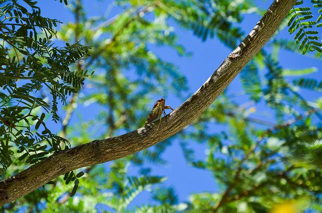 Cicada, Insect, Dry, Tree, Summer, Nature