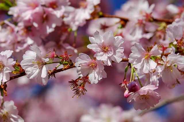 Japanese Cherry Trees, Blossom, Tree