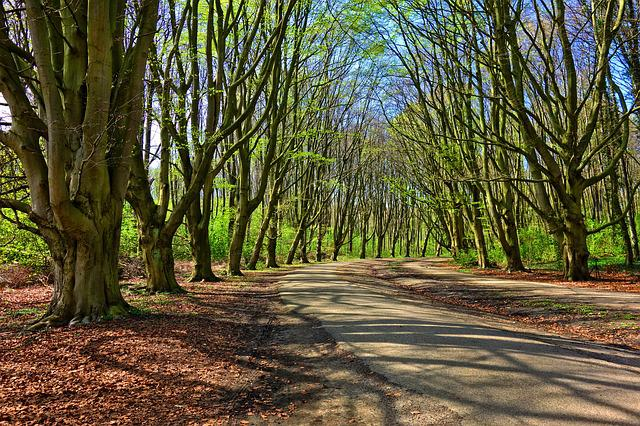 Forest, Tree, Lane, Tree Lined, Tree Lined Lane