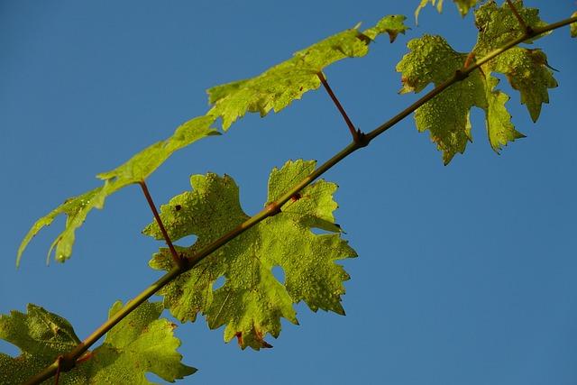 Leaf, Plant, Growth, Nature, Tree, Vine, Grapevine