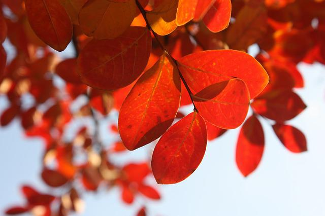 Leaves, Autumn, Red, Tree