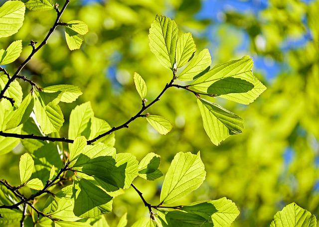 Oak, Tree, Deciduous Tree, Leaves, Parrotia Persica