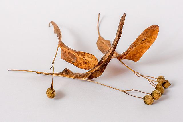 Linde, Tree, Linden Seeds, Autumn, Fall Color, Garden