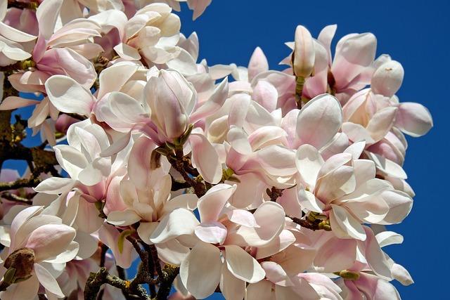 Tulip Magnolia, Tree, Bush, Magnolia, Magnoliengewaechs