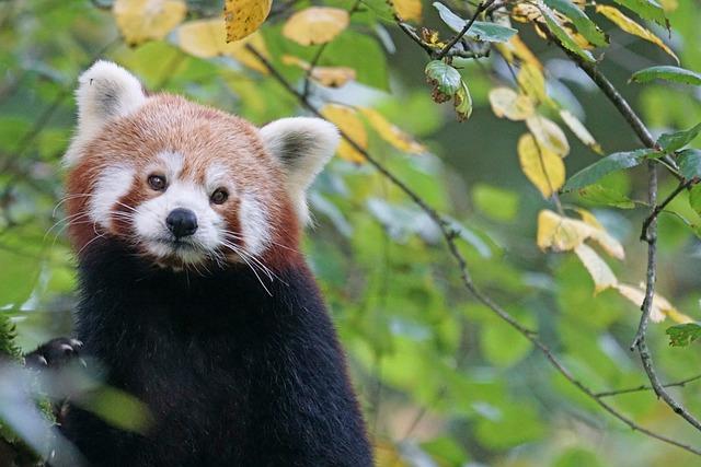 Panda, Red Panda, Cute, Predator, Climber, Tree, Mammal