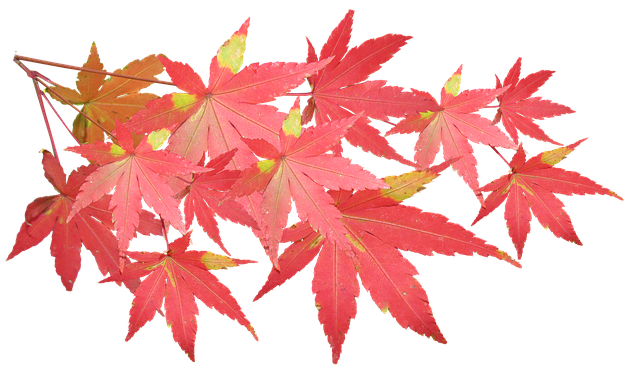 Leaves, Maple, Branch, Autumn, Fall, Nature, Tree
