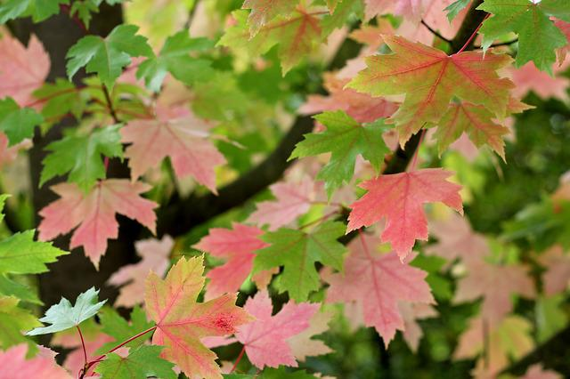 Acer, Leaves, Colour, Maple, Leaf, Tree, Nature