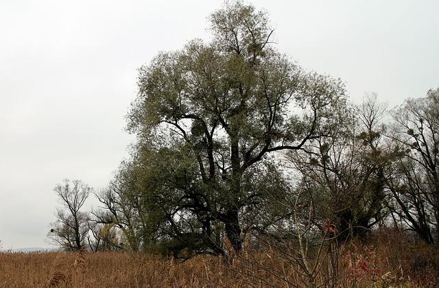 Nature, Tree, Trees, Mistletoe, Atmosphere, Mood