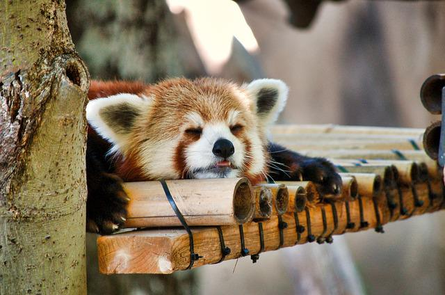 Red Panda, Zoo, Napping, Animal, Cute, Mammal, Tree