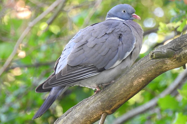 Dove, Branch, Tree, Collared Dove, Nature, Nature Dove