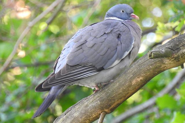 Dove, Branch, Tree, Collared Dove, Nature, Nature Dove