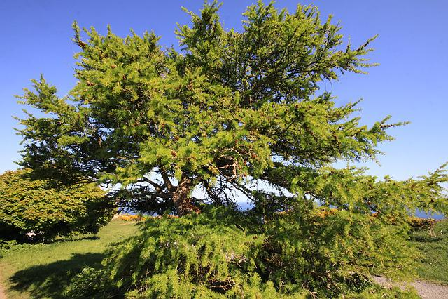 Larch, Tree, Dublin, Nature, Ireland