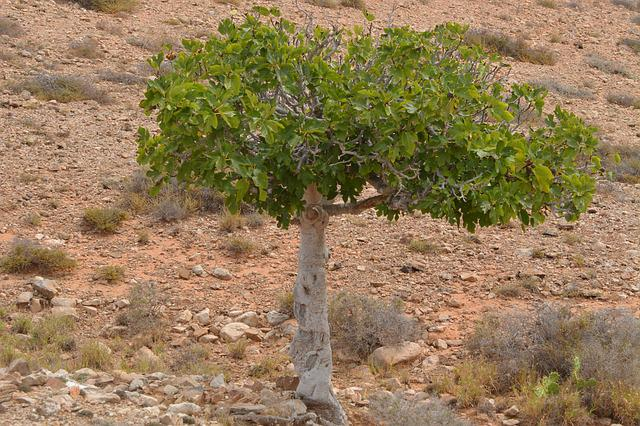 Fig Tree, Nature, Tree