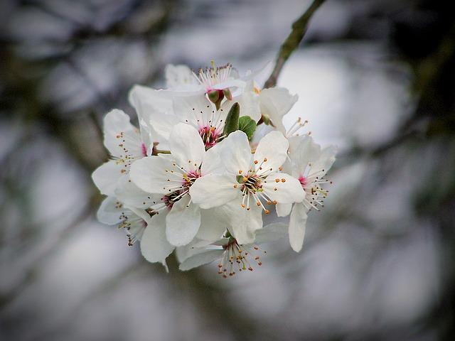 Cherry, Cherry Blossom, Flowering, Tree, Flower, Nature