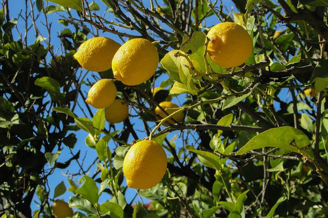 Lemon Tree, Lemon, Tree, Fruit, Nature, Plant, Yellow