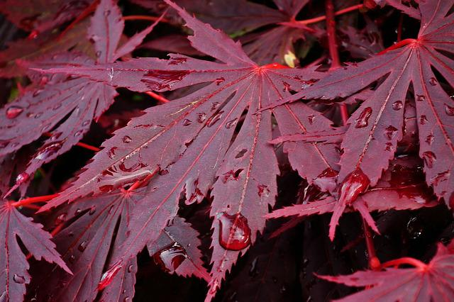 Japanese Maple, Tree, Leaf, Nature