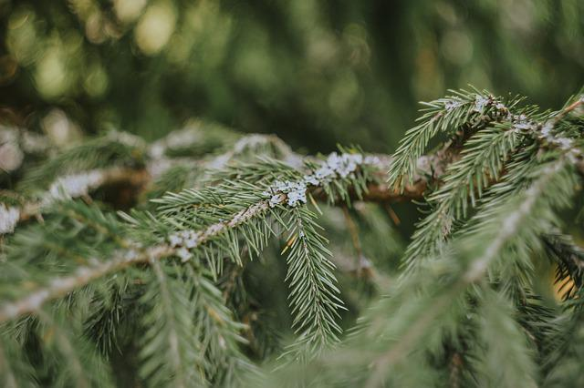 Spruce, Tree, Needles, Branch, Nature, Plant